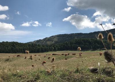 prato_con_mucche